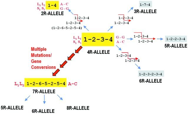 FLI 7R gene
