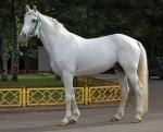 FLI Orlov trotter stallion