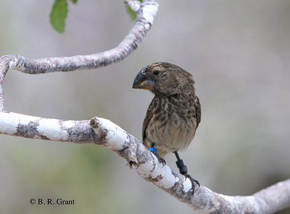 The large ground finch (Geospiza magnirostris) on Daphne Major Island, Galápagos archipelago. (Photo B.R. Grant, Department of Ecology and Evolutionary Biology. Reproduced with the permission of Princeton University Press)
