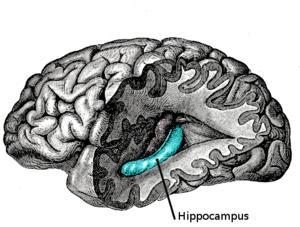 Source: http://en.wikipedia.org/wiki/Hippocampus