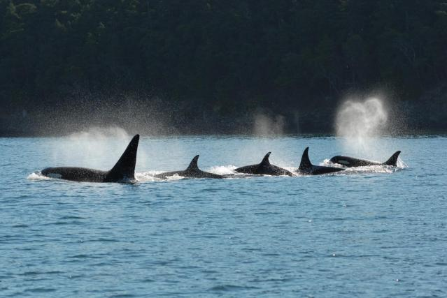 A killer whale pod swims in tight configuration. Credit: David Ellifrit, Center for Whale Research