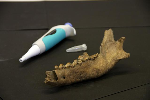 This image compares an ancient Taimyr Wolf bone from the lower jaw to a modern pipette. Credit: Love Dalén