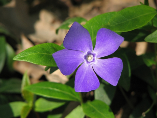Photo caption: Vinpocetine, an existing anti-stroke drug and alkaloid extracted from the periwinkle plant, was found to be an effective treatment for middle-ear infections. Photo credit: ©wi1diris/iStock Source: Georgia State University