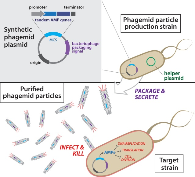 Overview of antibacterial phagemid construction. Phagemid plasmids are first transformed into a production strain harboring a helper plasmid. Next, secreted phagemid particles are isolated from the production strain and purified. Resulting engineered phagemid particles are then used to infect target bacteria. Courtesy of the researchers