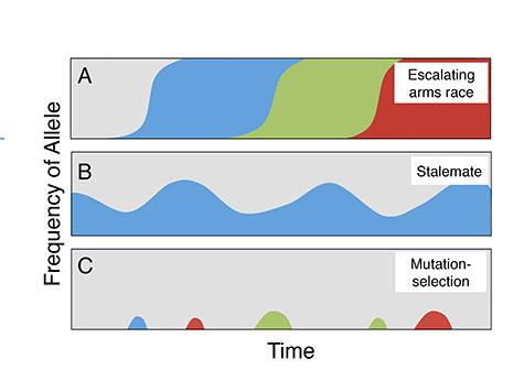 In the arms race (top), epidemics of cheating and resistance successively sweep through populations. In the stalemate (middle), cheating becomes endemic but does not take over the population. In the mutation and selection scenario (bottom), cheating mutations keep popping up but are quickly removed by selection. Different colors represent different alleles, or variants, of the social genes. Credit: Ostrowski et al.