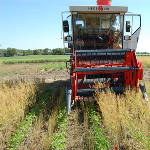Harvesting camelina from one of the camelina-soybean relay-crop treatments.  Photo Credit: Russ Gesch.