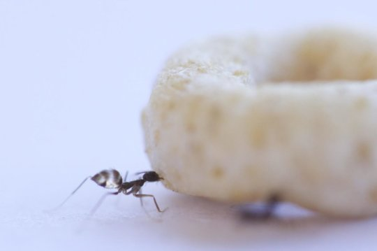 A foraging longhorn crazy ant often encounters food items that are formidably larger than herself (a Cheerio in this case). Credit: Weizmann Institute of Science