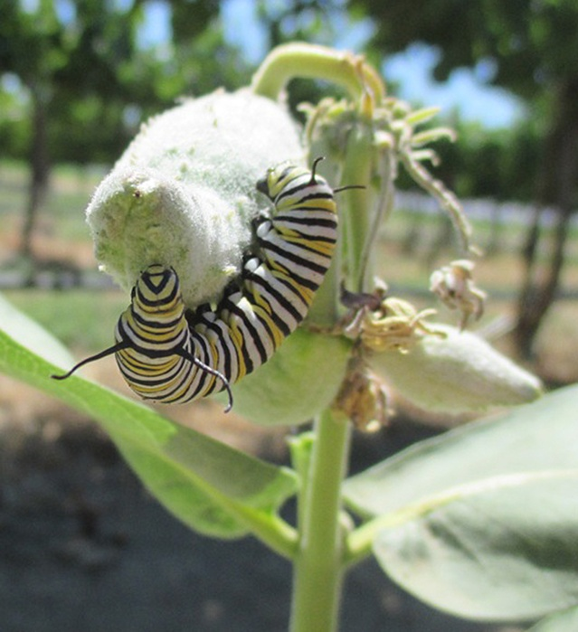 A caterpillar of a monarch butterfly feeds on milkweed in a WSU Prosser vineyard in June 2014.