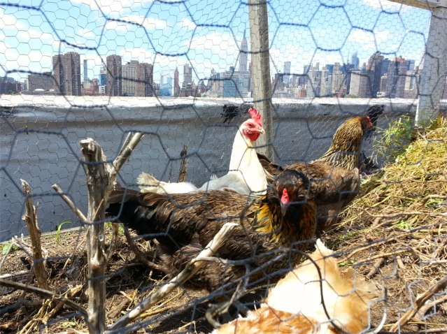 FLI City Chickens