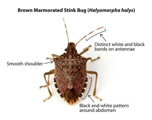 FLI stink bug