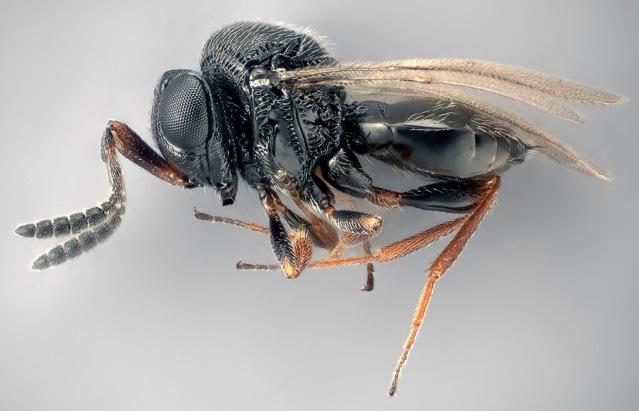 FLI wasp OK Trissolcus japonicus