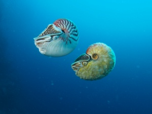Nautilus pompilius (left) swimming next to a rare Allonautilus scrobiculatus (right) off of Ndrova Island in Papua New Guinea. Peter Ward