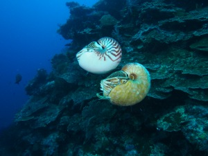 Nautilus pompilius swimming above a rare Allonautilus scrobiculatus off the coast of Ndrova Island in Papua New Guinea. Peter Ward