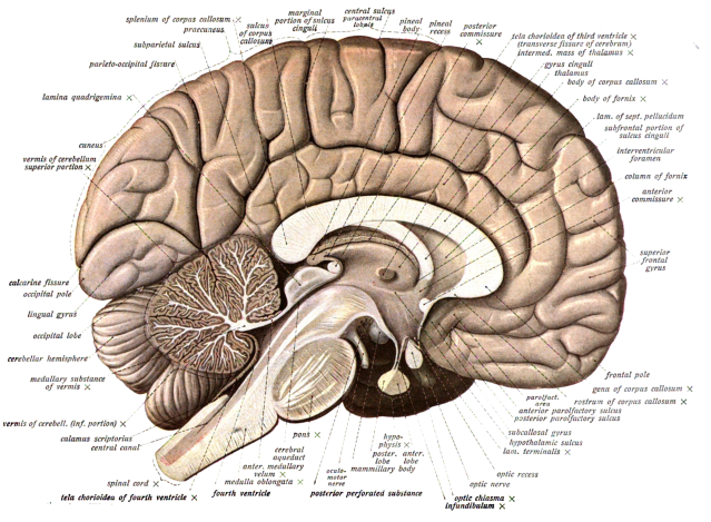 FLI Brain