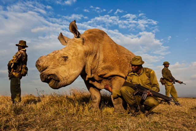 "OL PEJETA CONSERVANCY, KENYA, JULY 2011:  A four man anti-poaching team permanently guards a Northern White Rhino on Ol Pejeta Conservancy in Kenya, 13 July 2011. The Ol Pejeta Conservancy is an important ""not-for-profit"" wildlife conservancy in the Laikipia District of Kenya and the largest sanctuary for black rhinos in East Africa. It is also the home of 4 of the world's remaining 8 Northern White Rhino, the worlds most endangered animal. There has been an increase in poaching incidents on Ol Pejeta recently, in line with a massive worldwide increase in rhino poaching linked to the rise in the Asian middle class. Anti-poaching teams provide close protection to the rhino, with 24 hour observation over all rhino on Ol Pejeta and 24 hour armed guard protection over the 4 Northern White Rhino who are kept in their own Boma area. The team have developed extraordinary relationships with these Rhino, leaning on them, scratching them and displaying tremendous affection towards these most endangered of animals. Each of the men in these teams feels a genuine vocation towards the protection of these animals, something the rhino seem to sense, and this emerges on a daily basis as the men walk with the rhino through their day."