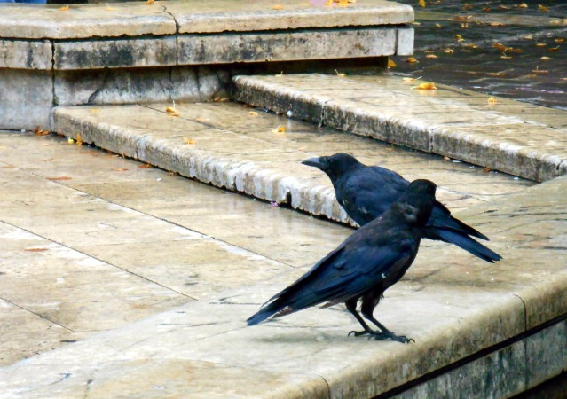 FLI crows_paris