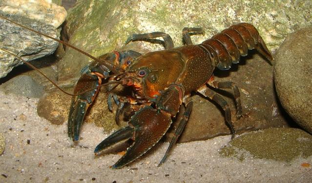 FLI Euastacus-crayfish