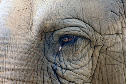 FLI_Elephant_Poaching_Eye