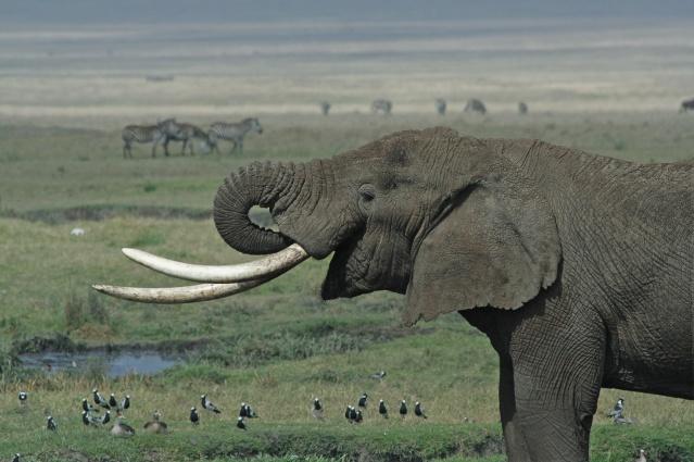 FLI_Tanzanian_Elephant