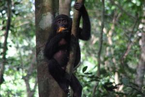 FLI bonobo