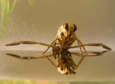 FLI backswimmer