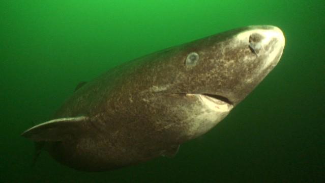 FLI greenland-shark