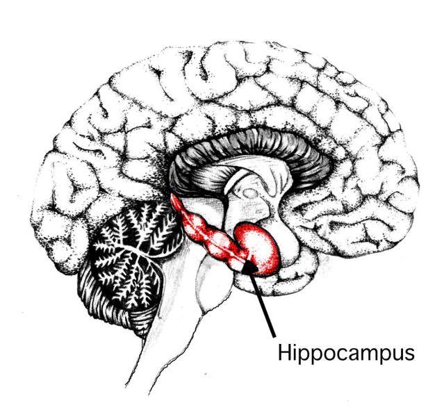 FLI hippocampus