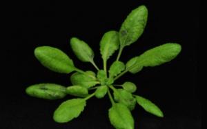 fli-arabidopsis