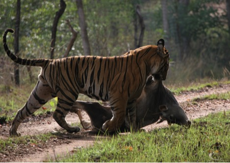 fli-tiger-dragging-cow-in-india_photographer-sarath-champati